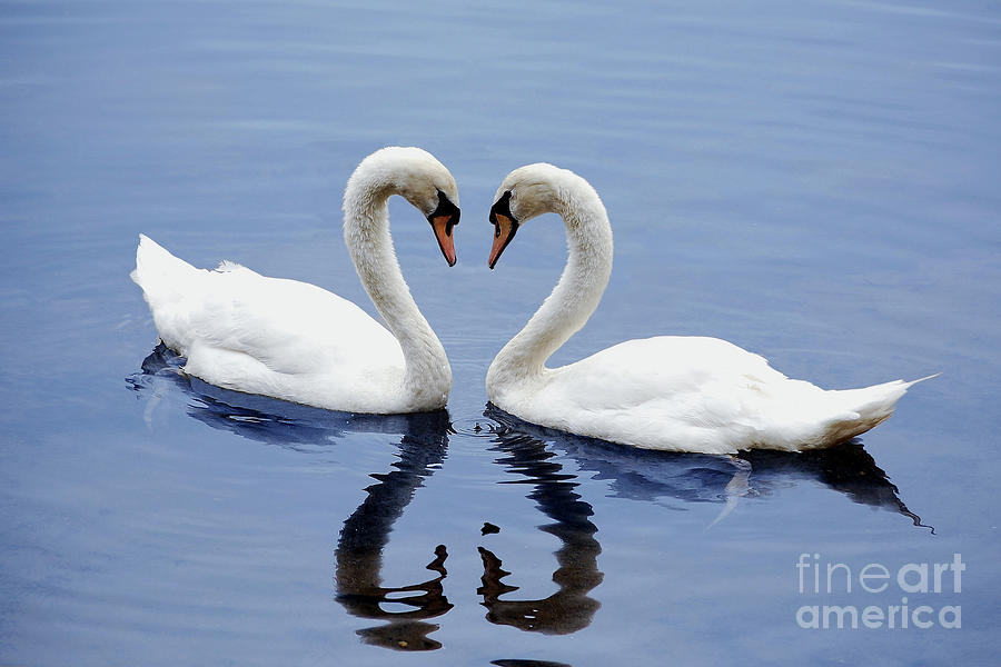 Swan Heart by Staci Bigelow