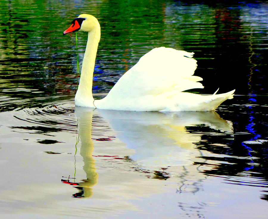 Swan Photograph - Who Is Afraid Of The Big White Swan  by Hilde Widerberg
