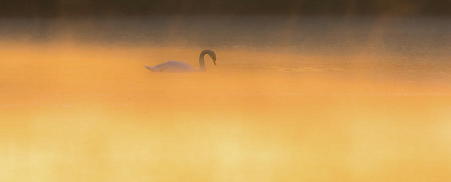 Swan in Aurora's Fiery Dawn by Will Bailey