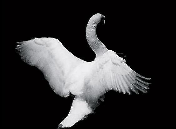 Swan In Flight Photograph by Glenn Vidal