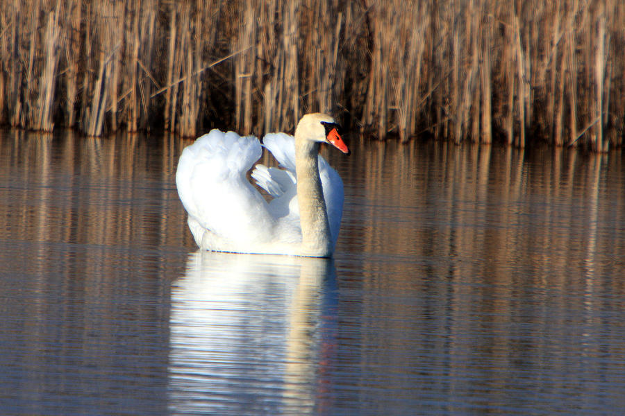 Swans Photograph - Swan In Marsh by Dave Clark