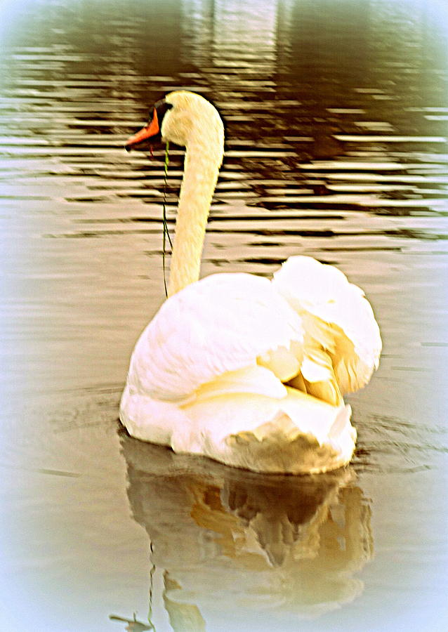 Swan Photograph - swan in the genus Cygnus by Hilde Widerberg