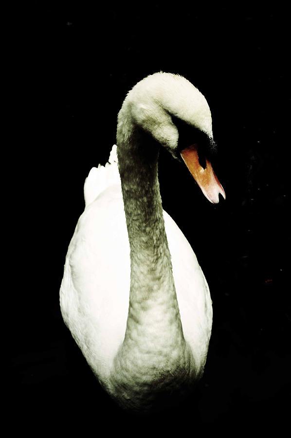 Swan Photograph - Swan by Boni Drake