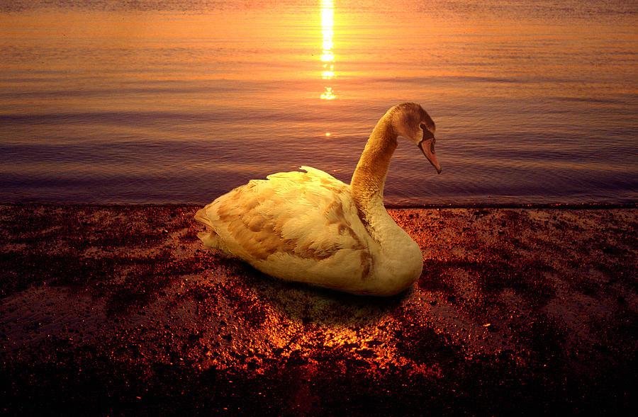 Animal Photograph - Swan Lake by Yuri Lev
