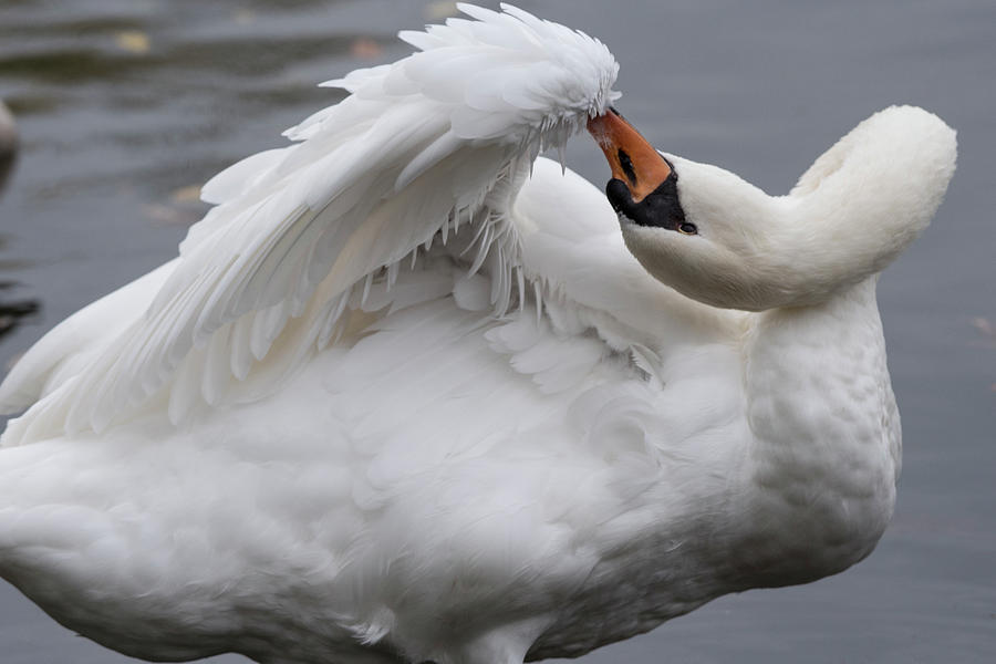 Swan Preens - 8166 by Steve Somerville
