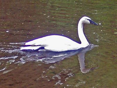Swan Photograph - Swan Reflected by Heidi Olson