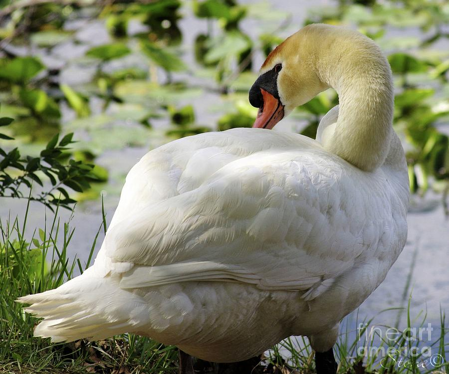 Swan  by September Stone