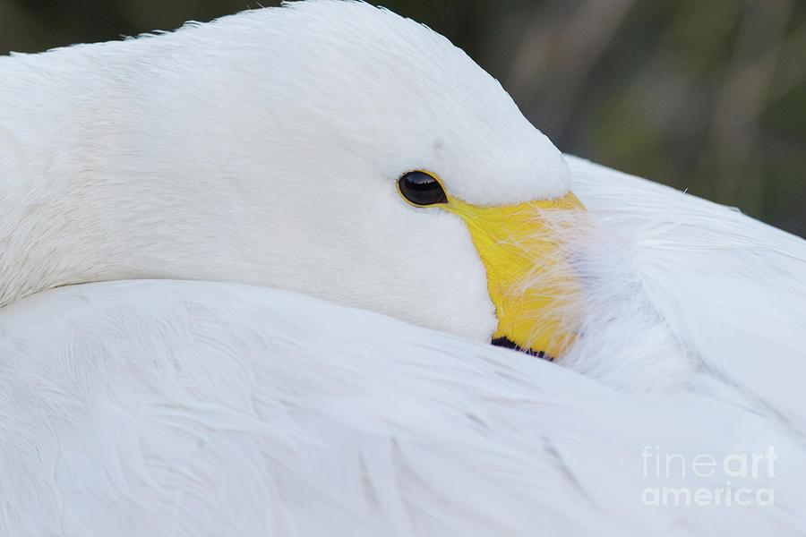 Swan Siesta by Paul Farnfield