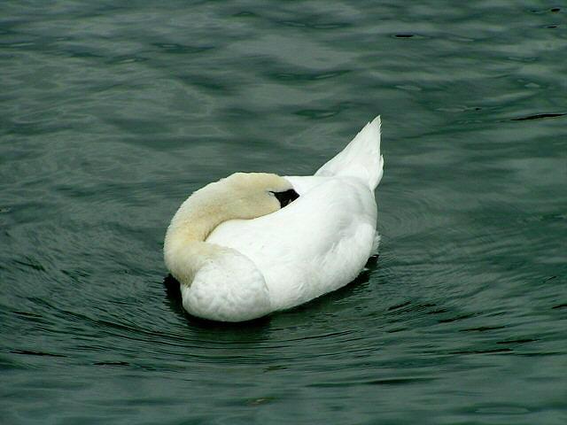 Swan Photograph - Swan by William  Fischer