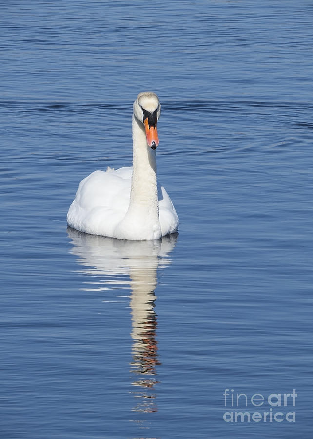 Swan with Reflection by Lili Feinstein