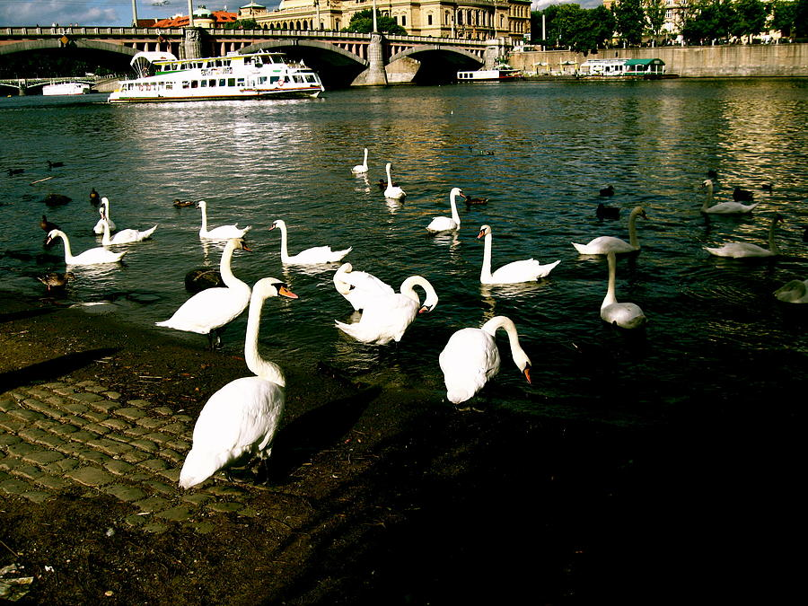 Prague Photograph - Swans by Ariane Moshayedi