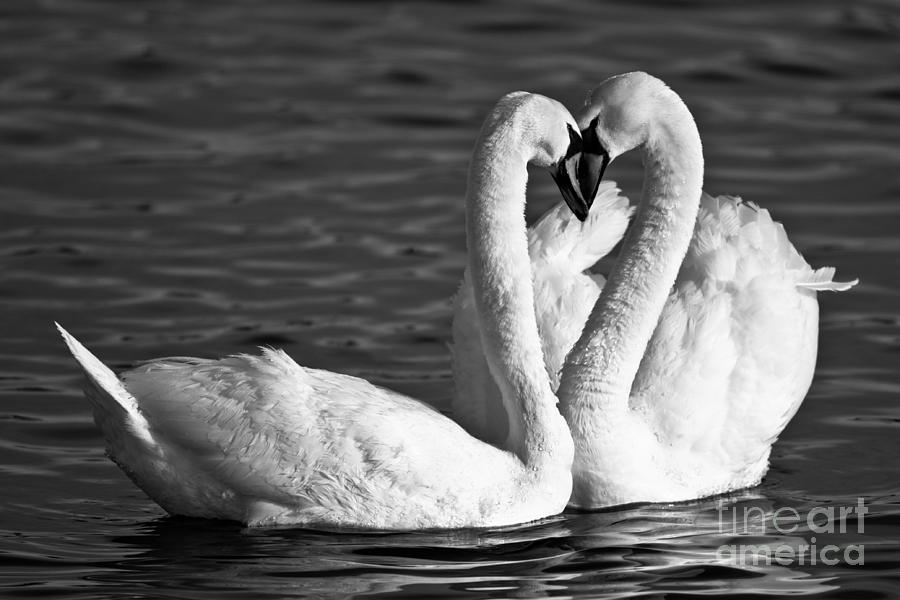 Swans Photograph - Swans by Brandon Broderick