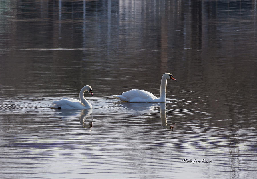 Birds Photograph - Swans by ChelleAnne Paradis