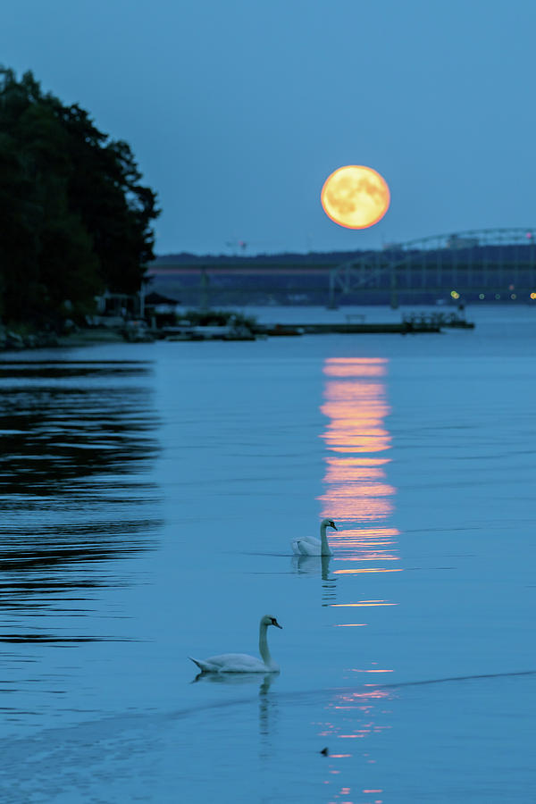 Swans By Moonlight >> Swans Gliding Into The Moonlight During A Moonrise In Stockholm