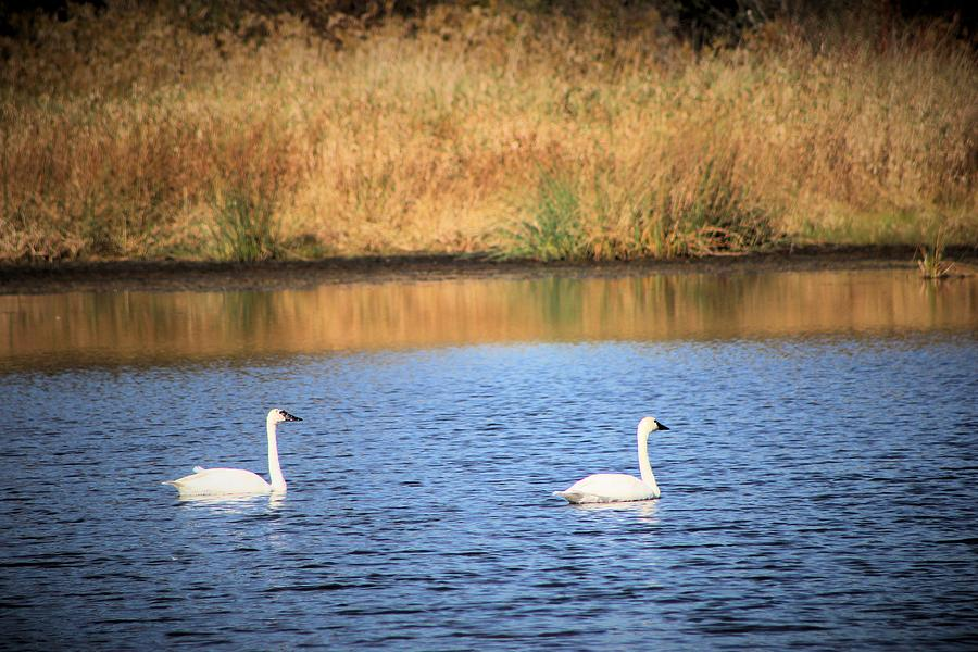 Swans In Pond Photograph