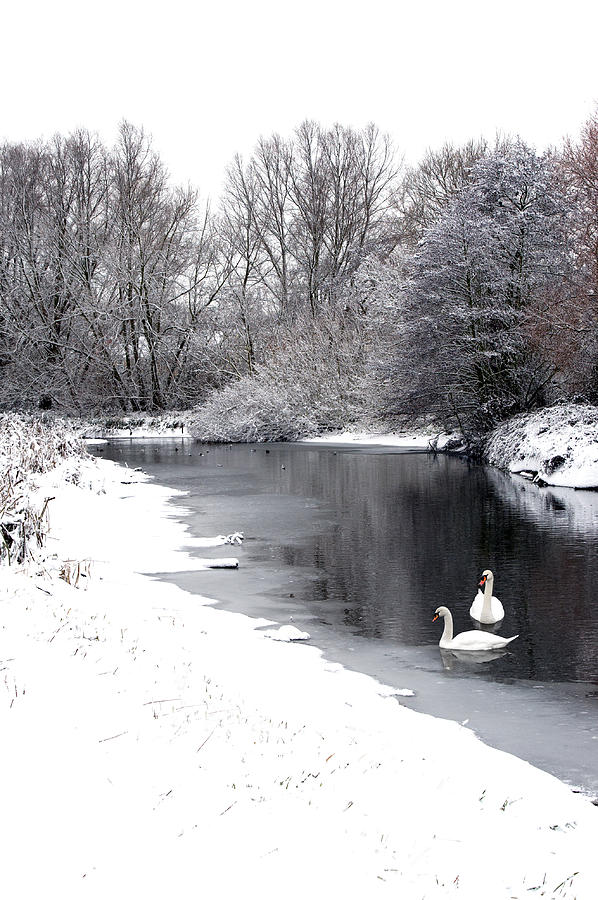 Swans Photograph - Swans In The Snow by Gary Eason