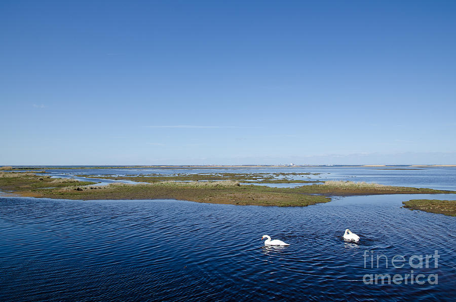 Swans In Wetland Photograph