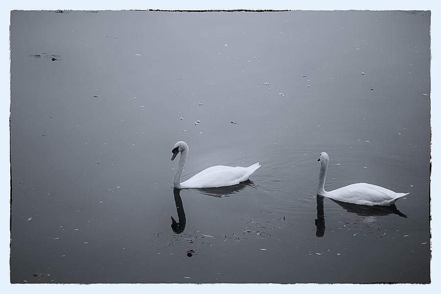 Swans Photograph