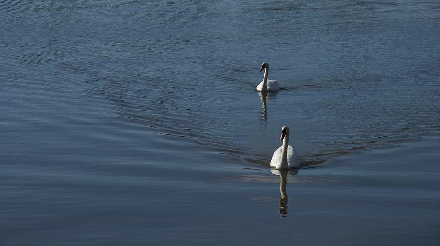 Swans Photograph - Swans On Blue by Charles Kraus