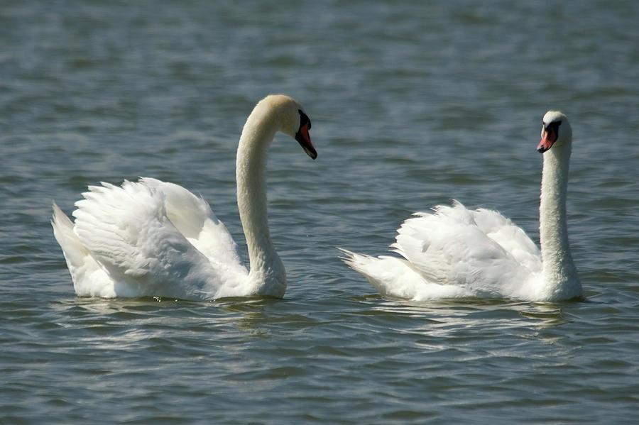 Swans On Lake A Spring Afternoon Burgas Lake Vaya Photograph - Swans On Lake  by Cliff Norton