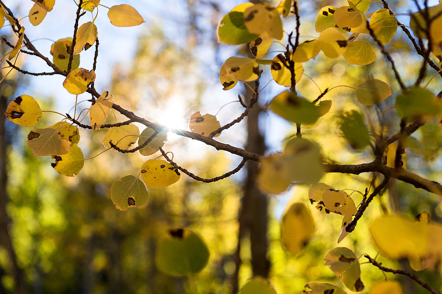 Sweatshirt Weather, Yellow And Green Leaves On Autumn Aspens With The Sun Shining In The Background Photograph