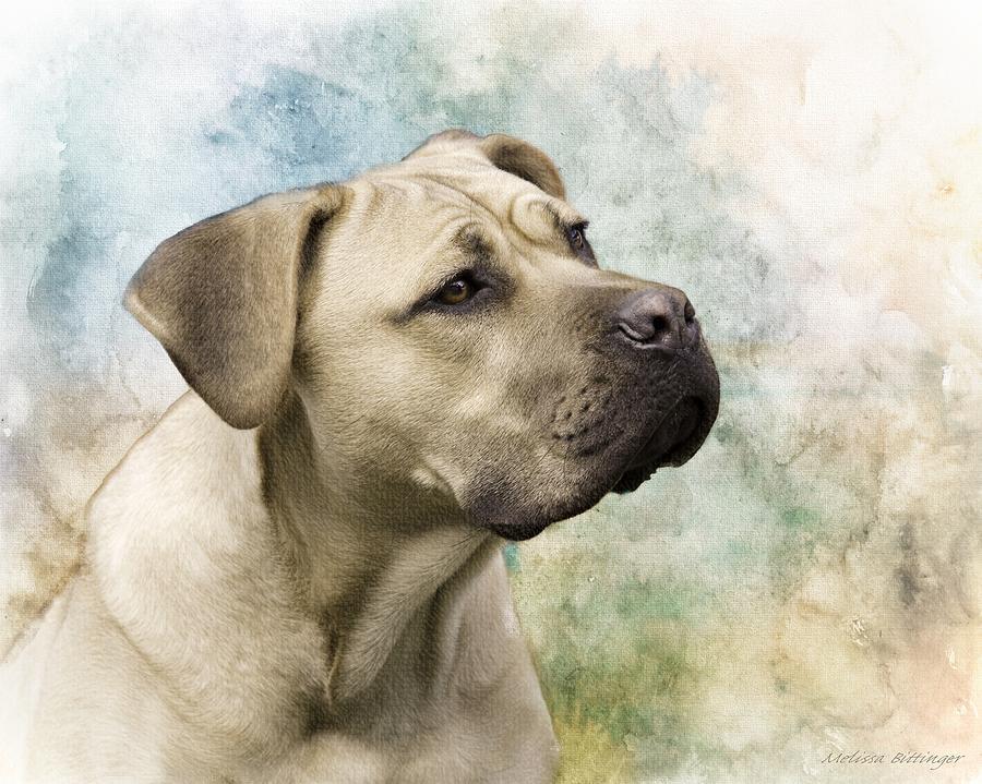 Sweet Cane Corso Italian Mastiff Dog Portrait Photograph By Melissa