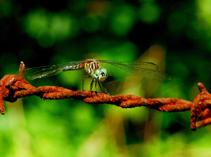 Dragonfly Photograph - Sweet Face by Stephanie Parks