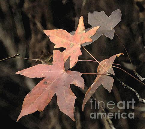 Leaves Photograph - Sweet Gum Sunset by Linda Jackson