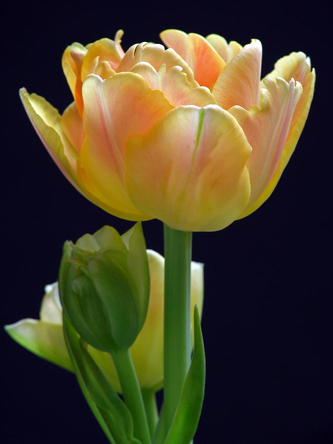 Tulip Photograph - Sweet Happiness by Juergen Roth