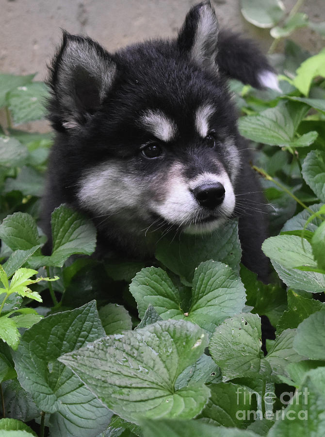 Dog Photograph - Sweet Markings On The Face Of An Alusky Puppy Dog by DejaVu Designs