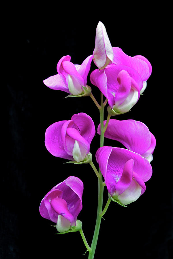 Sweet Pea Photograph - Sweet Pea by George Sanquist
