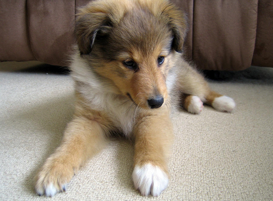 sweet puppy photograph by sheltie planet