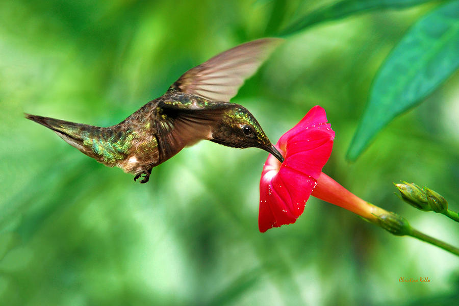 Hummingbird Photograph - Sweet Satisfaction by Christina Rollo