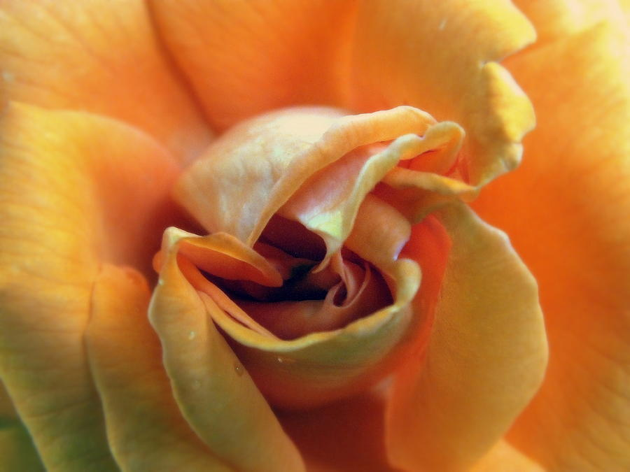 Rose Photograph - Sweet Seduction by Karen Wiles