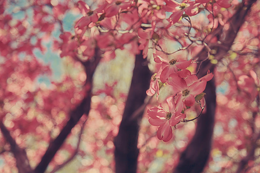 Flowering Dogwood Trees Photograph - Sweet Sweet Love by Laurie Search