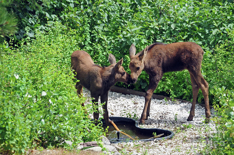 Sweet Twin Moose Calves by Cindy Murphy