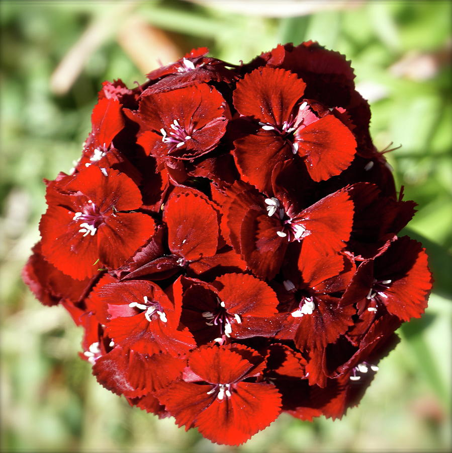 Botanical Photograph - Sweet William Macro by Bonnie See