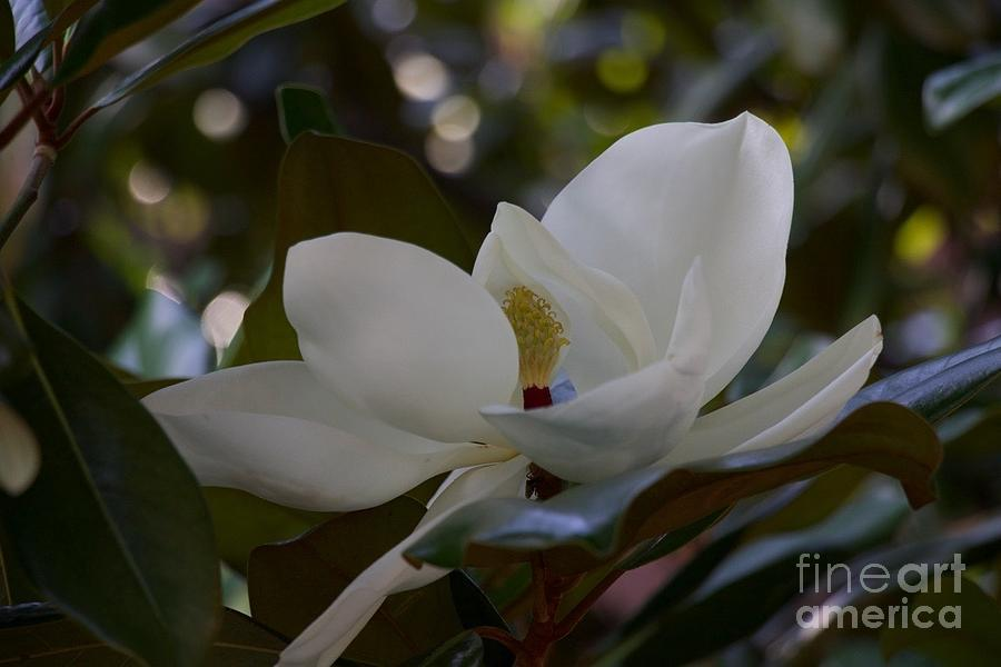 Sweetbay Magnolia Photograph By John Franke