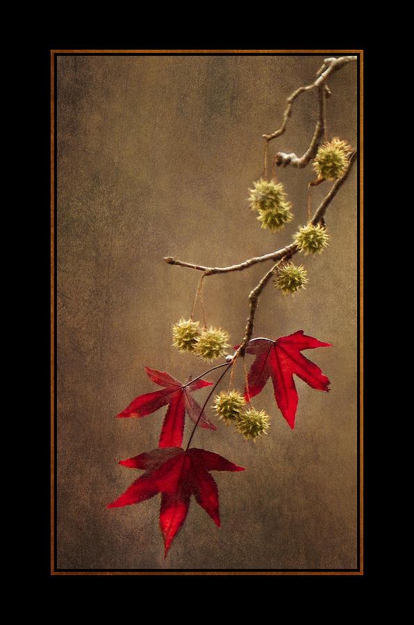 2011 Photograph - Autumn Sweetgum 2 by Lauren Brice