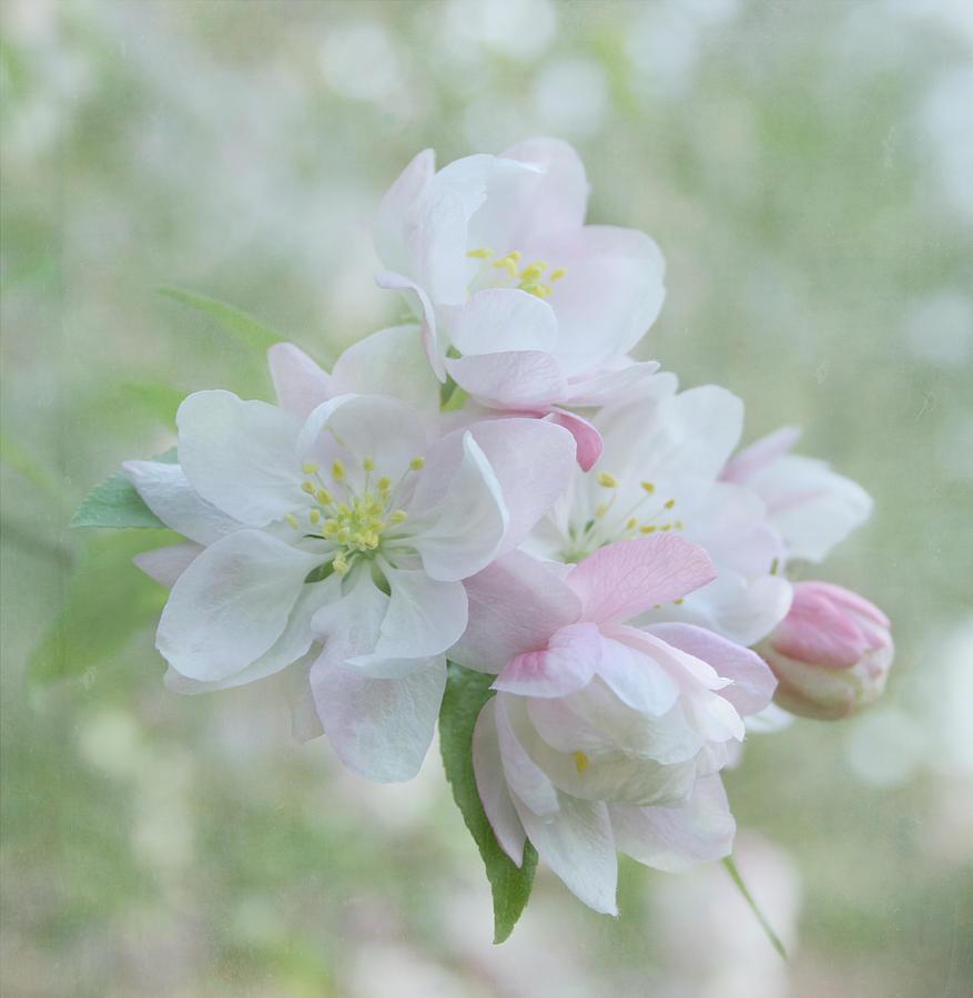 Flower Photograph - Sweetness by Kim Hojnacki