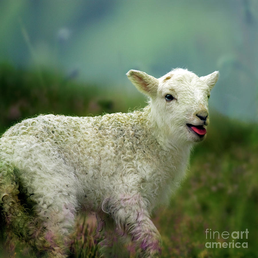 Lamb Photograph - Swet Little Lamb by Angel Ciesniarska