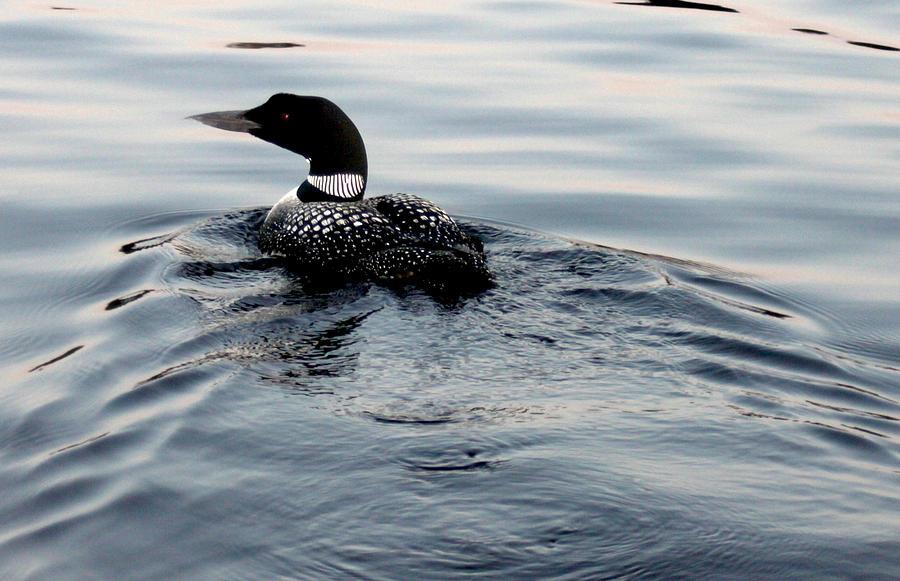 Nature Photograph - Swimming Away by Robert Morin