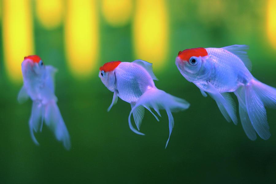 Horizontal Photograph - Swimming Fishes Underwater by Yuki Crawford