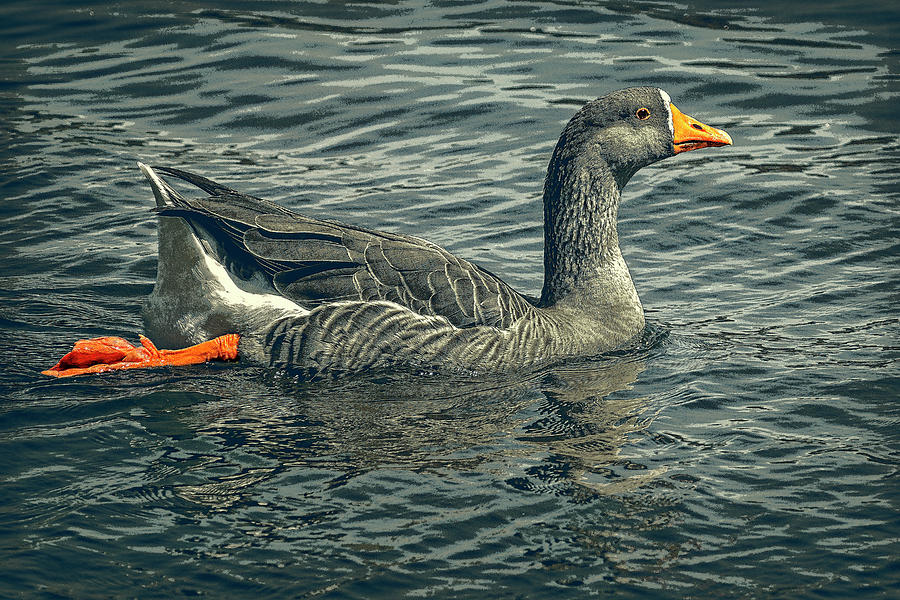 Swimming Goose by Sandra Selle Rodriguez