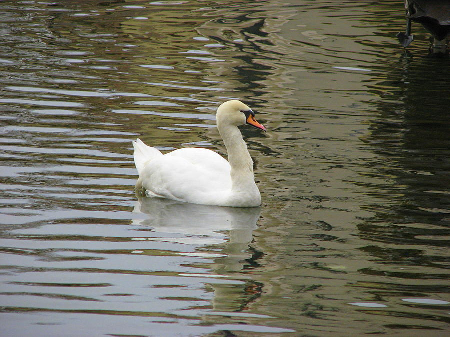 Swan Photograph - Swimming by Kathy Roncarati