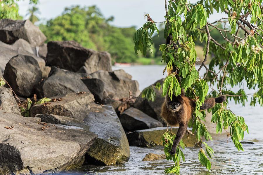 Primate Photograph - Swinging Monkey  by Michael Santos