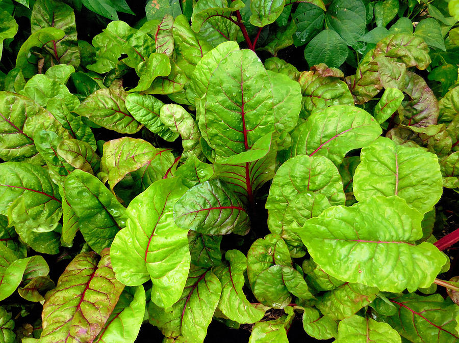 Leaves Painting - Swiss chard in a vegetable garden 4 by Jeelan Clark
