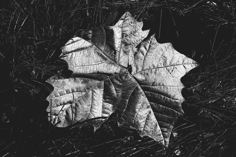 Leaf Photograph - Sycamore Leaf Digital by Brad Chambers