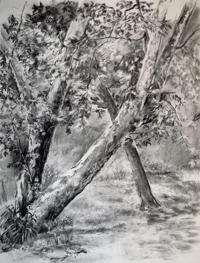 Tree Drawing - Sycamore Tree In Goliad State Park by Karen Boudreaux