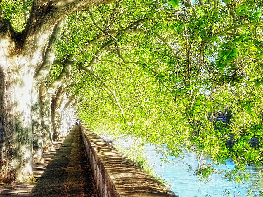 Sycamore Tree Photograph - Sycamore Trees Along The Tiber River by George Oze
